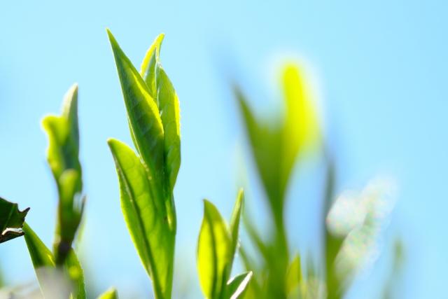 緑茶パックでお肌が劇的に変わる!簡単な自宅ケア